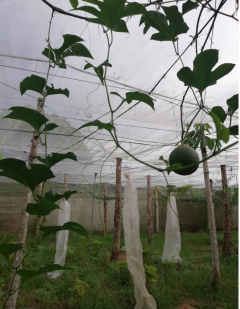 Sản xuất cây giống gấc nếp bằng nuôi cấy mô