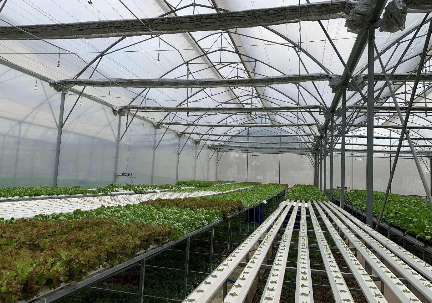 Quy trình sản xuất rau ăn lá thủy canh theo hướng hữu cơ