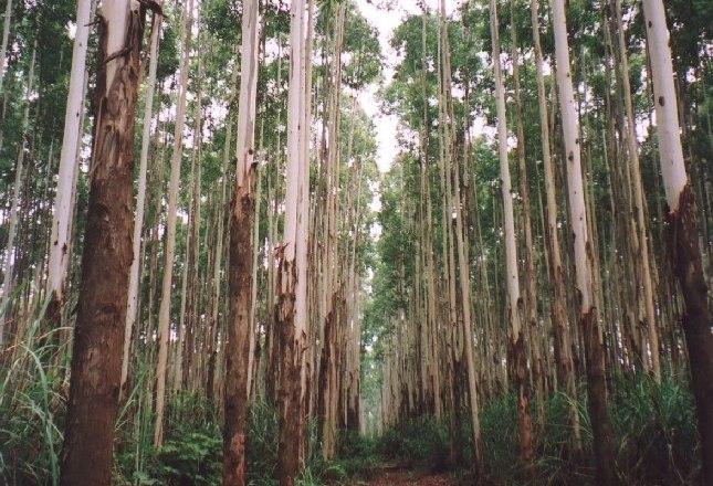 Mua giá cao cây bạch đàn và keo khu vực Bình Định, Gia Lai, Kon Tum